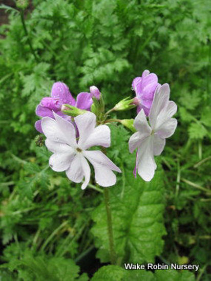Picture of Primula sieboldii Silver/Pink