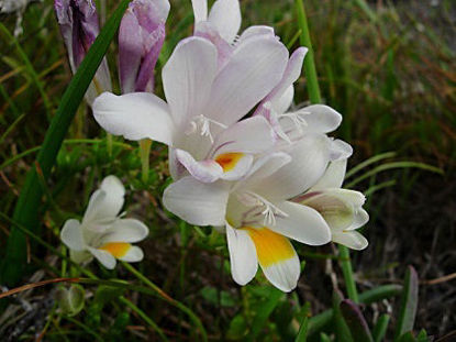 Picture of Freesia refracta alba - 5 large