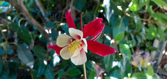 Picture of Aquilegia Crystal Star Red
