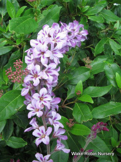 Picture of Francoa appendiculata 'Pink Bouquet'