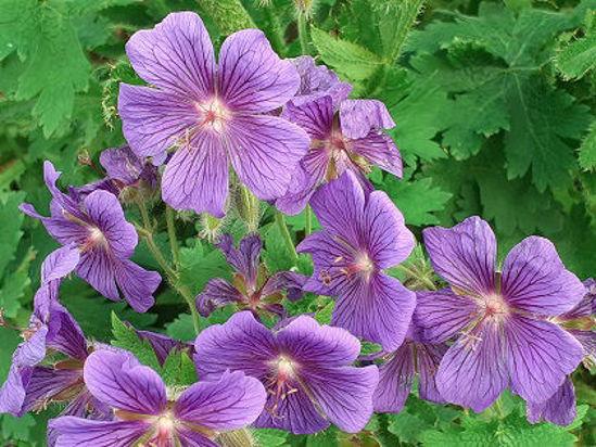 Picture of Geranium x magnificum
