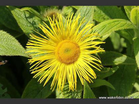 Picture of Inula Hookeri