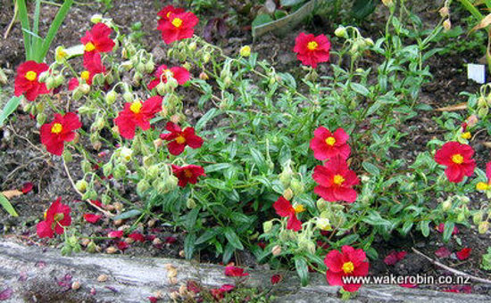 Picture of Helianthemum Ben Ledi