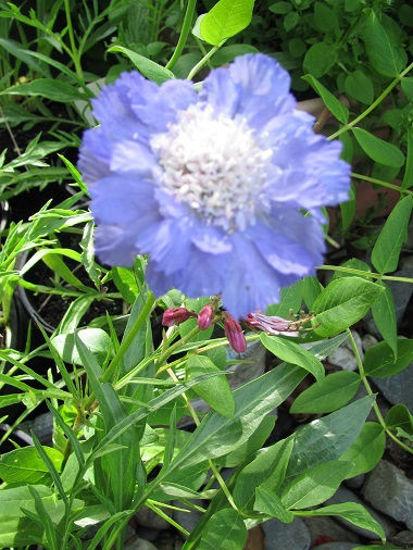 Picture of Scabiosa caucasica 'Blue Mountain'