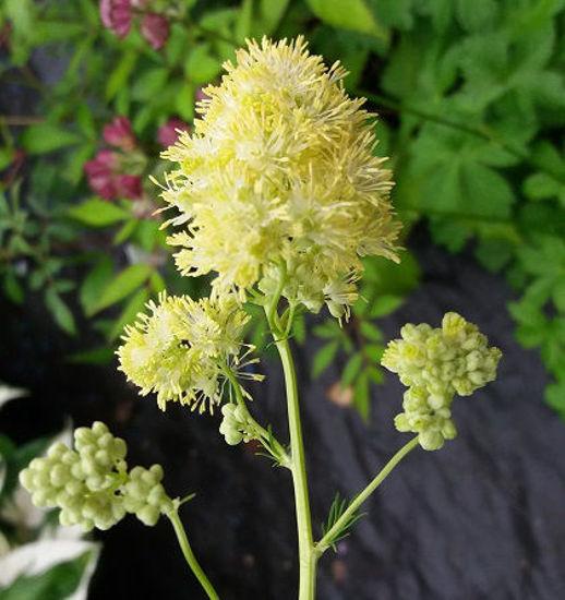 Picture of Thalictrum lucidum