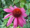 Picture of Echinacea purpurea 'Magnus Superior'