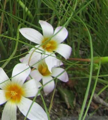 Picture of Romulea white, yellow eye
