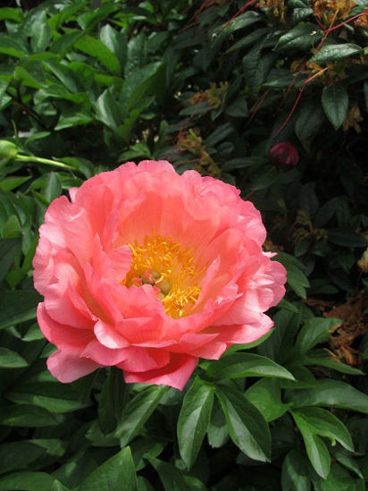 Picture of Paeonia Coral Sunset