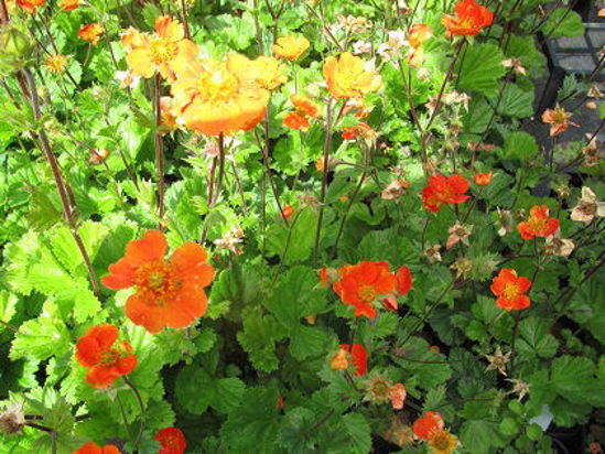 Picture of Geum coccineum 'Koi' - 5 pieces