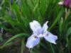 Picture of Iris Sibirica Lavender blue - 5 pieces