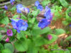 Picture of Pulmonaria angustifolia - 5 pieces