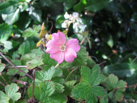 Picture of Geranium endressii - Pink, 5 pieces