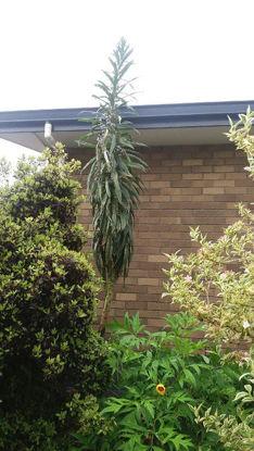 Picture of Echium pininana