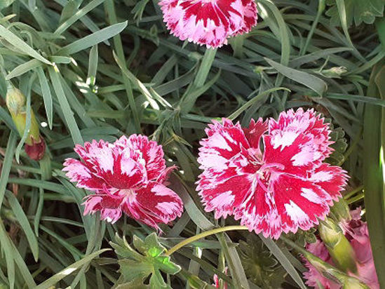 Picture of Dianthus 'Cranberry Ice'