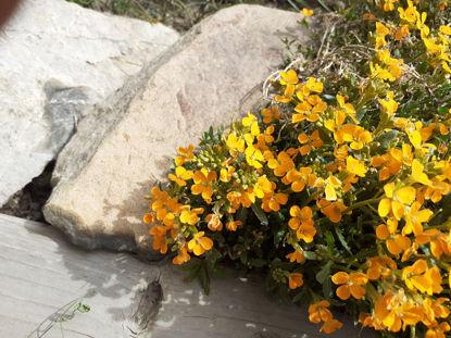 Picture of Erysimum Orange Flame