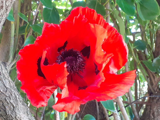Picture of Papaver orientale 'Empress of India'