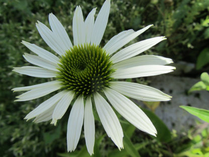 Picture of Echinacea purpurea 'White Swan'