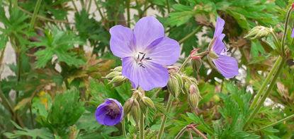 "Picture of Geranium x ""Johnstons Blue"""