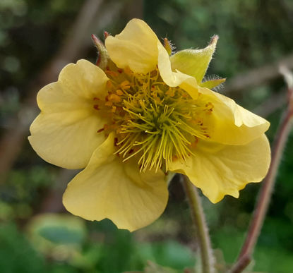 Picture of Geum montanum Mixed- 5 pieces