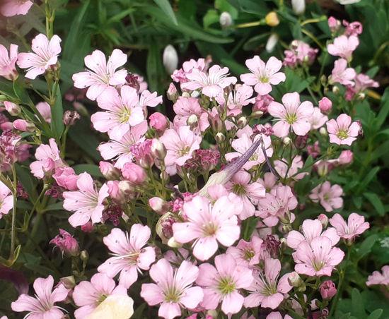 Picture of Gypsophila repens Rosea