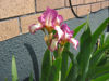 Picture of Iris Raspberry Acres