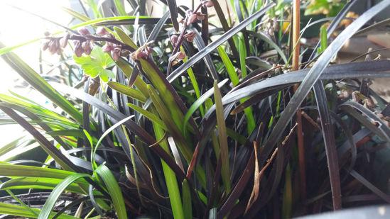 Picture of Omphiopogon Planiscarpus 'Black Dragon'