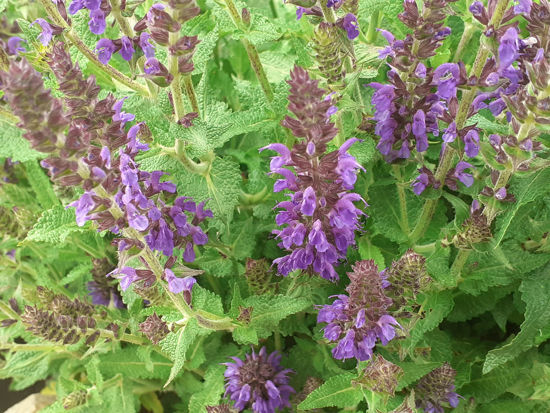 Picture of Salvia Blue Hills