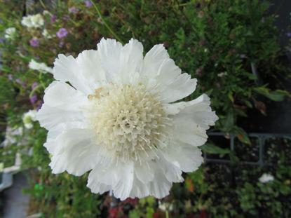 Picture of Scabiosa caucasica 'Fama White'