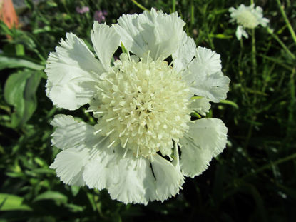 Picture of Scabiosa caucasica 'Perfecta alba'