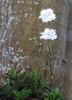 Picture of Silene alpestris 'Flore Pleno'