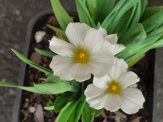 Picture of Sisyrinchium Snowbells