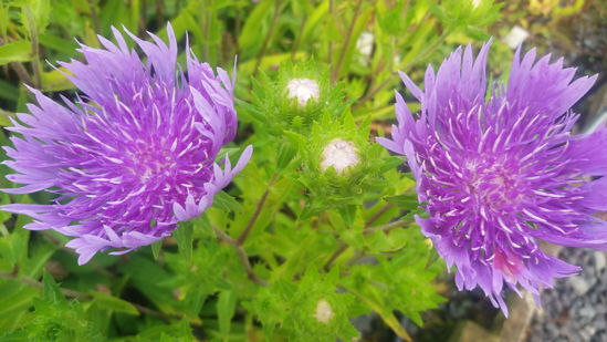 Picture of Stokesia 'Peachie's Pick'