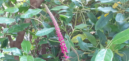 Picture of Veronica Dwarf Pink
