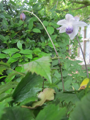 Picture of Anemonopsis macrophylla