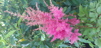 Picture of Astilbe 'Fuschia Spangles'
