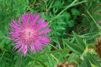 Picture of Centaurea dealbata - dark pink