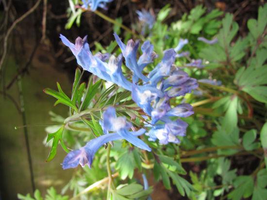 Picture of Corydalis flexuosa