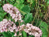 Picture of Francoa mixed