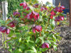 Picture of Helleborus Red Hybrids