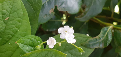 Picture of Omphalodes verna 'Alba' - 5 pieces