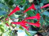 Picture of Ourisia coccinea