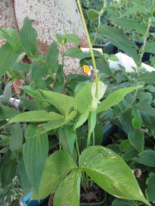 Picture of Pinellia tripartita