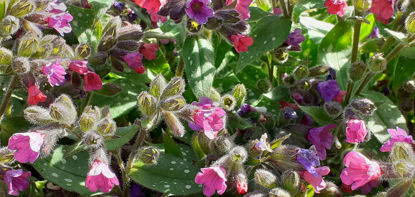 Picture of Pulmonaria 'Raspberry Splash'