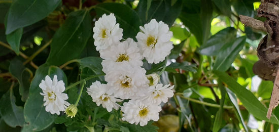 Picture of Pyrethrum Double White
