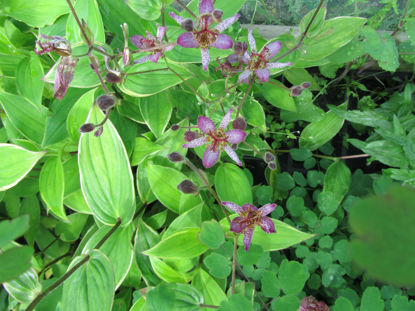 Picture of Tricyrtis formosana variegata