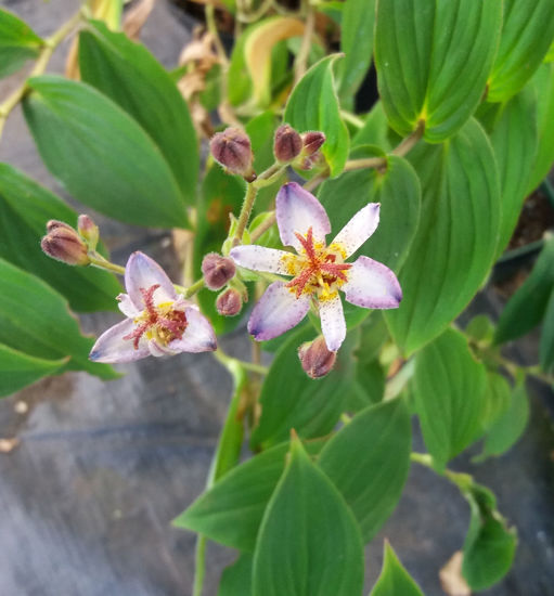 Picture of Tricyrtis formosana lavender white with purple specs
