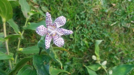 Picture of Tricyrtis hirta