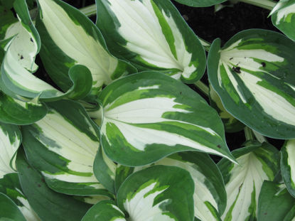 Picture of Hosta 'Loyalist'