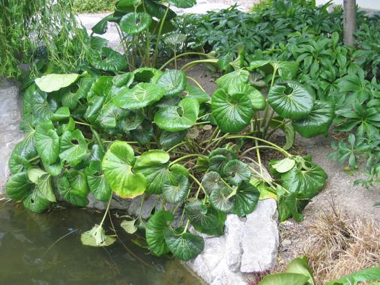 Picture of Ligularia Reniformis