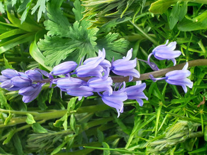 Picture of Bluebells - 50 small